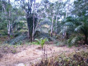 oil palm to rubber land
